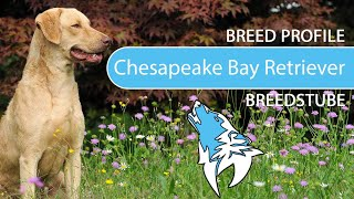 Chesapeake Bay Retriever [2020] Breed, Temperament & Training