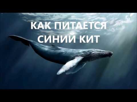 Как кит ест планктон видео