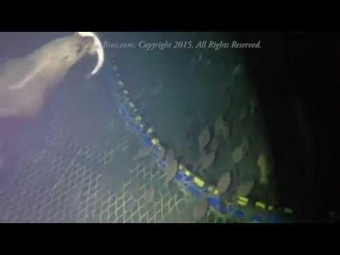 Sea Lion In A Fishing Net