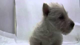 スコッチテリアの子犬.
