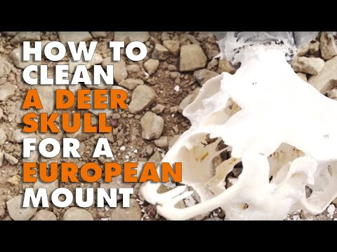 How to Clean a Deer Skull for a European Mount