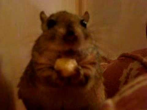 Shaw's jird Squibby eating b..