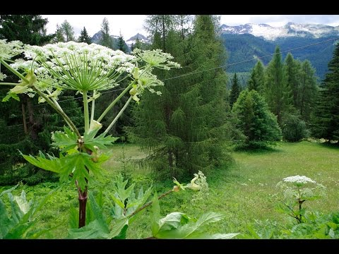Panace Gigante in Trentino (Heracleum Mantegazzianum in Trentino, Italy) - Genesis' Giant Hogweed
