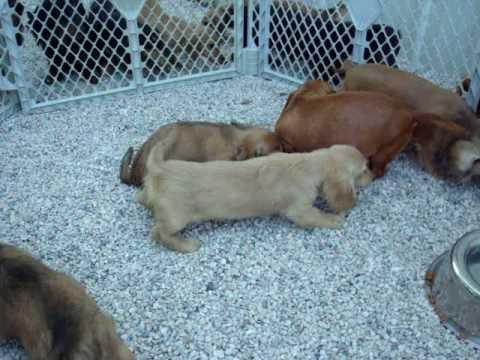 Miniature Dachshund puppies playing outside for the first time!