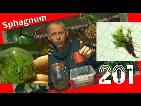 Moos Sphagnum Moos vermehren im ewigen Terrarium und normalem Habitus