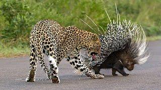 표범의 공격에 고슴도치에서 고통이 가중 본문에서 남아프…