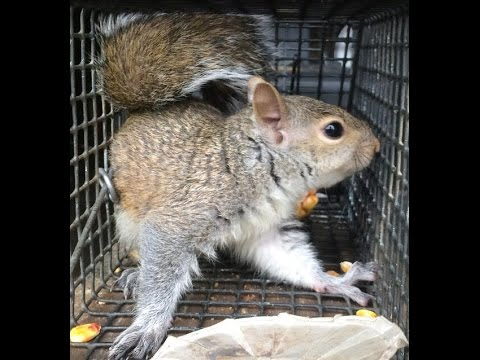 Squirrel in Insulation Middlesex County NJ 732-284-3807