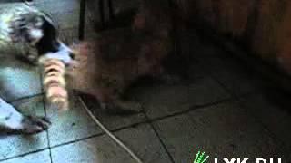 Пёс гонит с кота