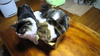おでぶ猫のとろたん。今日も大好きな箱に入ったけど... (特にい落ちはあ...