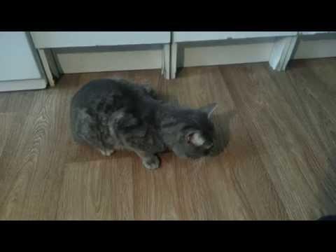 Как кашляют кошки видео
