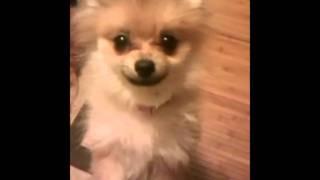 Chewy's Pomeranian Puppy Uglies
