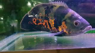 سمكة الاوسكار المفترسه مع جمال العمواسي