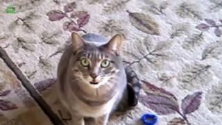 Кошки мяукают) Мяуканье)  (Cats meow)