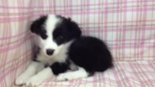 生年月日 2016/03/17 生まれ 性別 メス ♀ カラー ブラック&ホワイト.