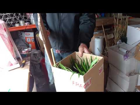 Packaging an Areca palm part 2