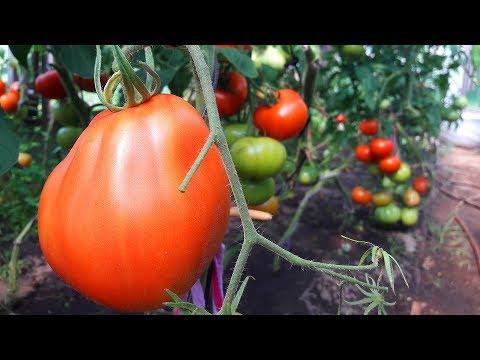 Высокорослые урожайные томаты! Сапсан, Пузата Хата.