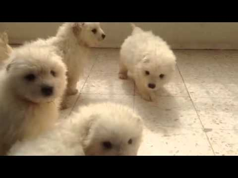 Samoyeds Puppies In Egypt , Snowflake Kennel , Https://m.facebook.com/SnowFlakeKennel