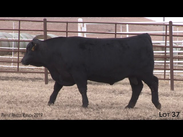 Payne Angus Ranch Lot 37