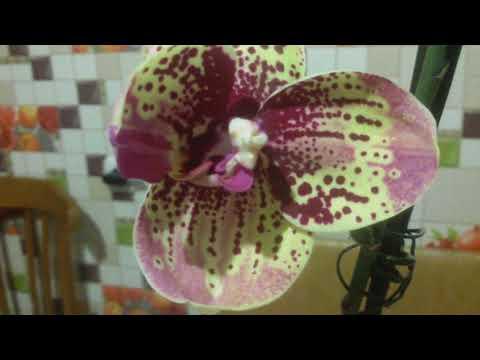 Цитокининовая паста!Мутация орхидей!
