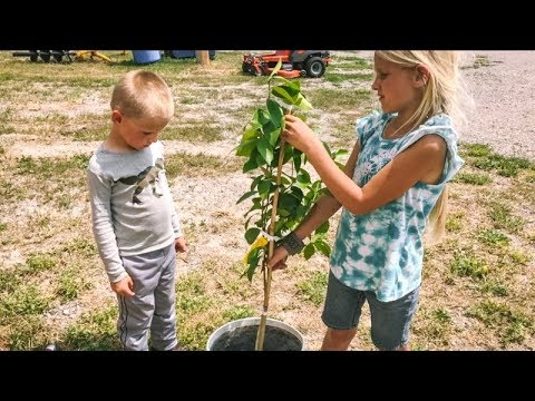 Growing LEMONS in Wyoming? (Planting a dwarf fruit tree)