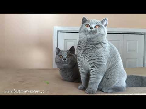Best Meow Meow British Shorthair Cats and Kittens.