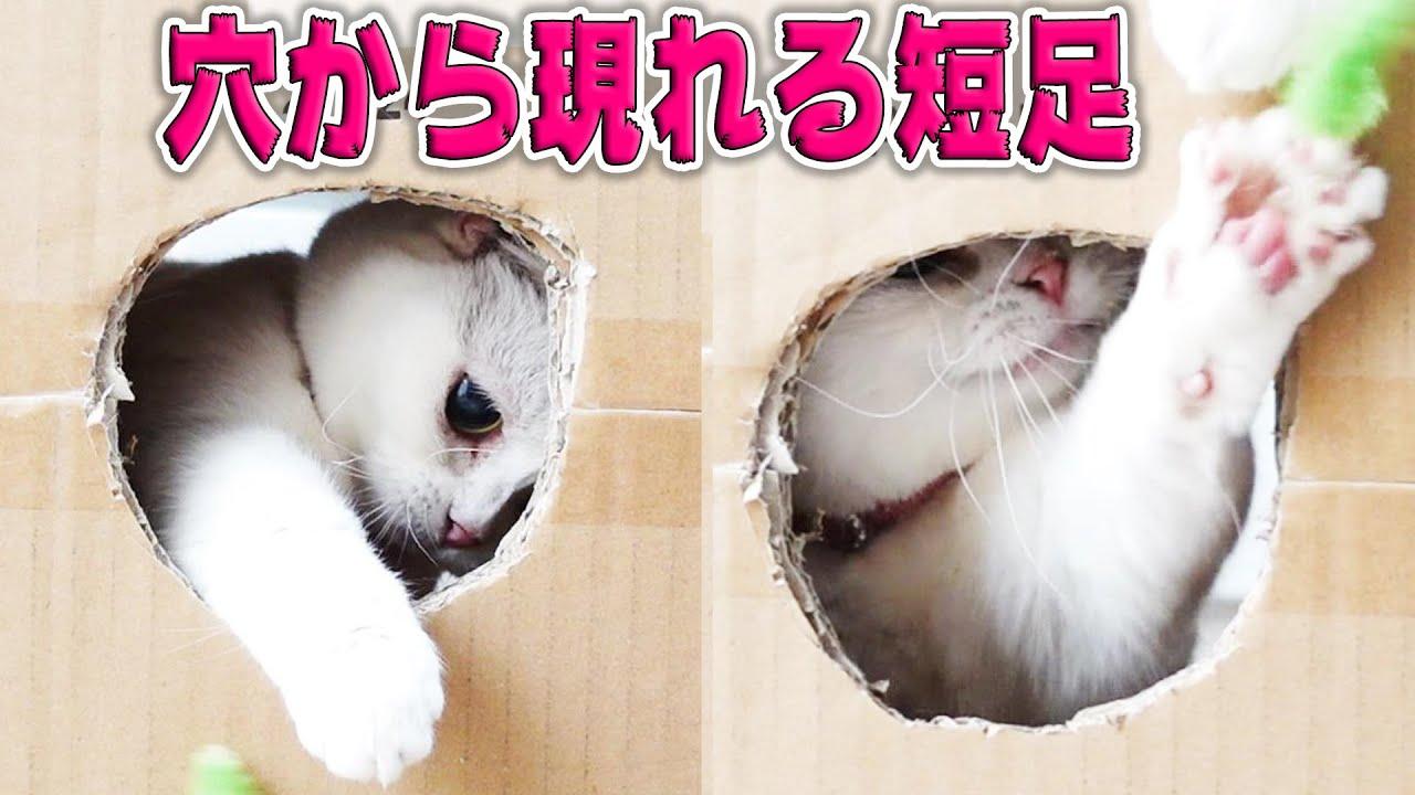 短足猫のチャームポイントを、箱の穴だけでこんなに楽しめる! Here is the charm of short-legged cats!