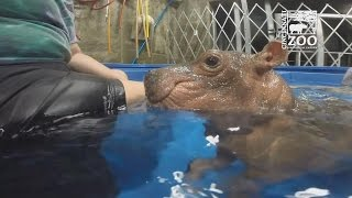 Baby Hippo Born Premature Is Now Standing And Swimming On Her Own