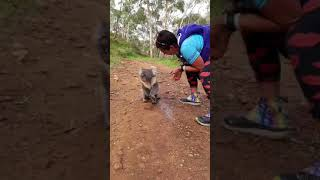 Thirsty Koala Joins Runners For a Drink