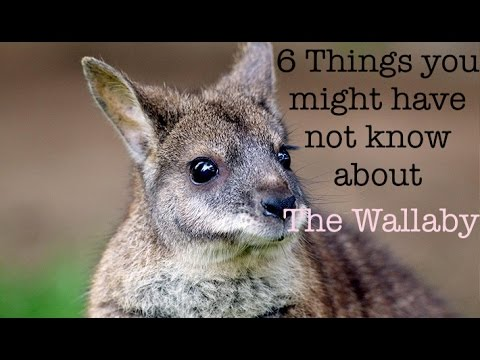 TYMHNKA: 6 Facts About Wallabies