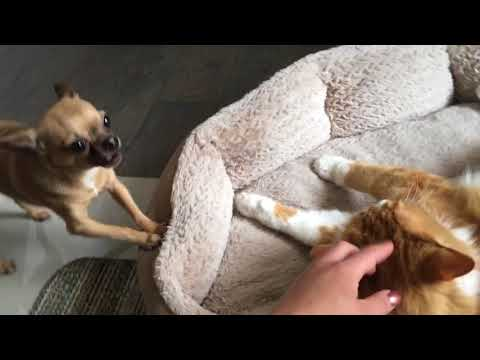 Chihuahua wants cat out of his bed