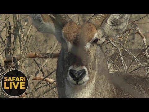 safariLIVE - Sunrise Safari - October 12, 2018