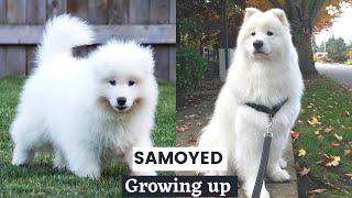 Samoyed Puppy growing up TimeLapse  Life of a Samoyed Dog Breed | Puppy Samoyed Compilation