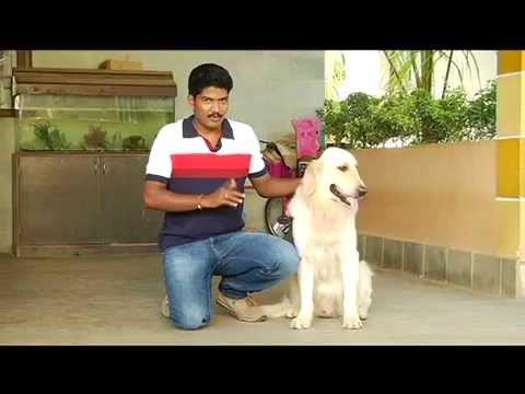 Golden Retriever dog training
