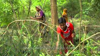Collecting firewood and timber from Uttar Pradesh forests