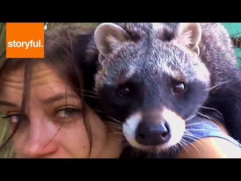 Cute Civet Crawls All Over Handler's Shoulder (Storyful, Wild Animals)