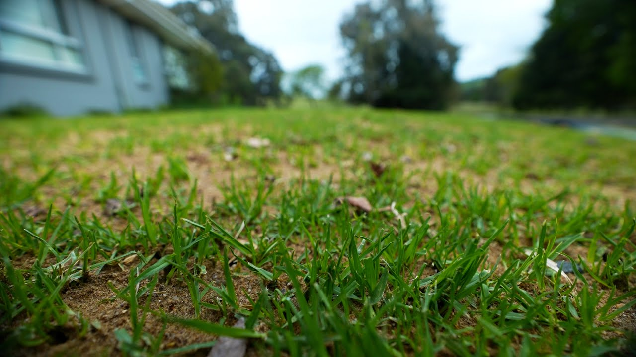 How Does My Lawn Look A Week After Reno? // Fixing Washed Topdress and Fertilising my Kikuyu