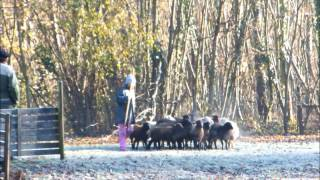 Grimm - entrainement troupeau - décembre 2012