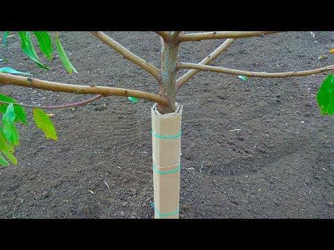 Защита молодых деревьев от зайцев / Картон как средство защиты
