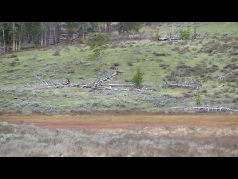 yellowstone norris to mamouth bear killing baby elk .MP4