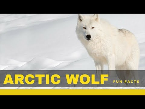 arctic wolf facts for kids – Interesting information you need to know