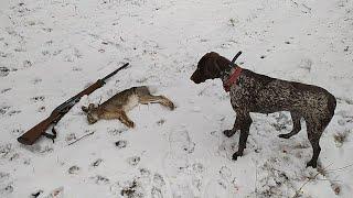Удачная охота на зайца и лису с курцхааром видео