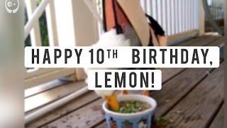 بالفيديو| بطة غير قادرة على المشي تحتفل بعيد ميلادها الـعاشر