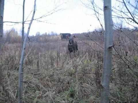 Карабин Лось 7-1 стрельба на 100 и 200 м - YouTube