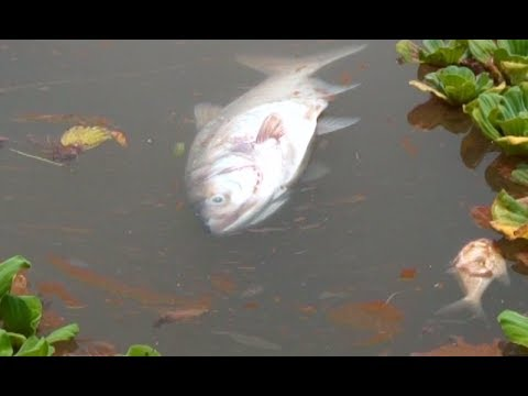 Fish dies due to poison in Rawal Lake