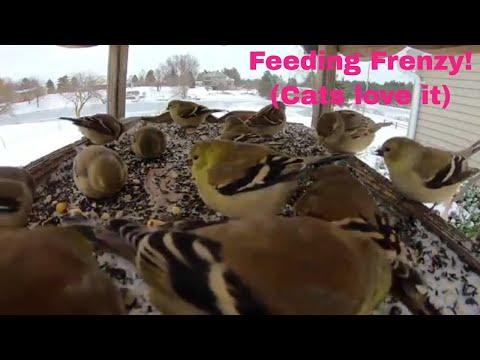 Cute Bird Feeding Frenzy (Show your Cute Cat) (2018)