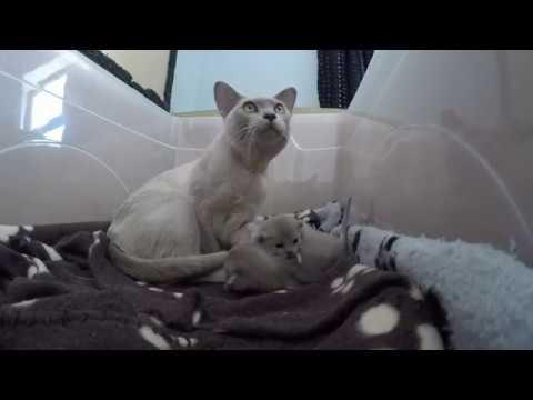 Two week old Burmese kittens