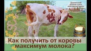 Правильное кормление и содержание коров молочного направления. Подготовка к отёлу нетеля.