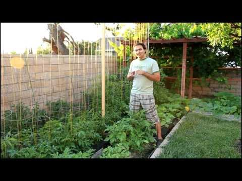 The Difference between Indeterminate and Determinate Tomato Plants with California Gardener