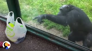 Download SMART Chimp Asks Zoo Visitors For Drink | The Dodo Mp3 and Videos