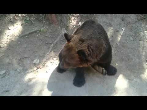 Everland Resort bears